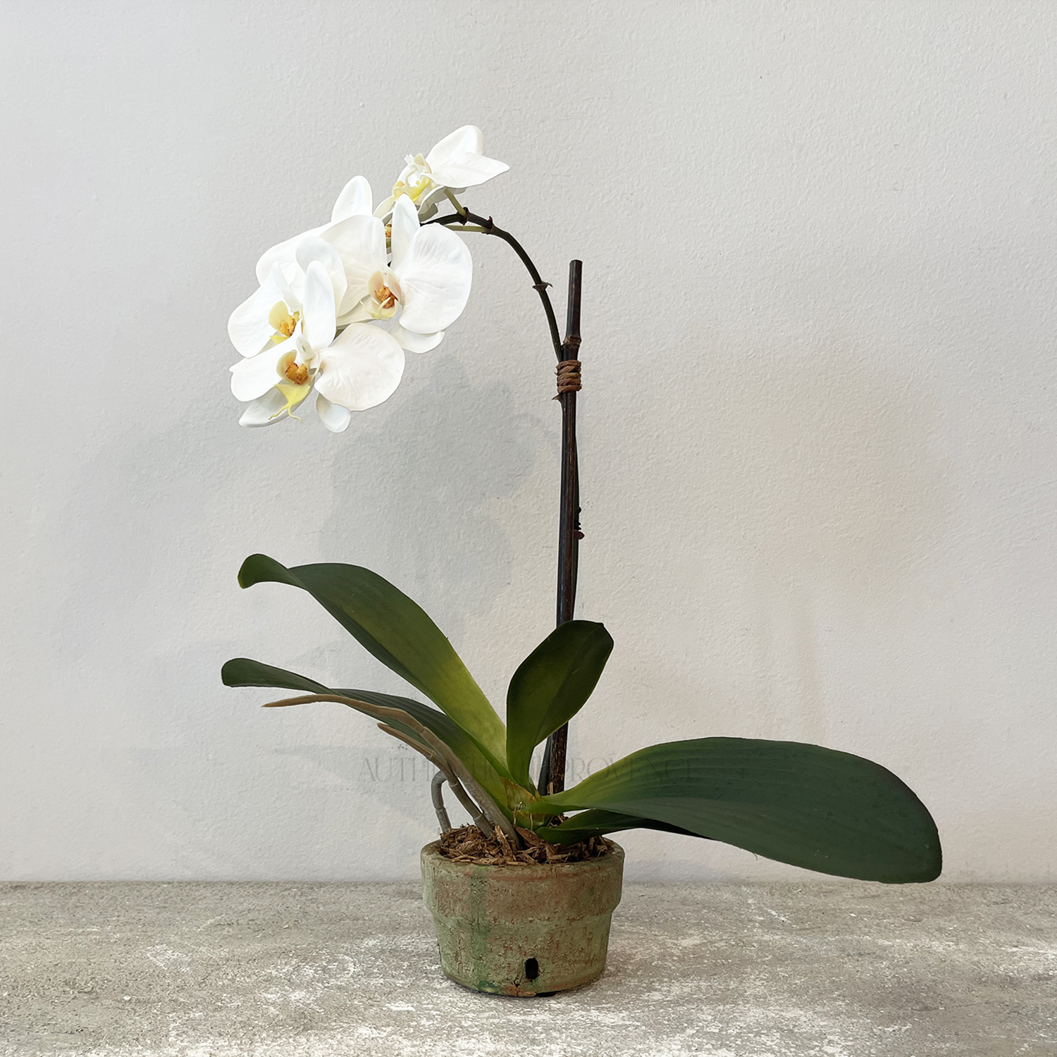 Orchid in Shallow Pot