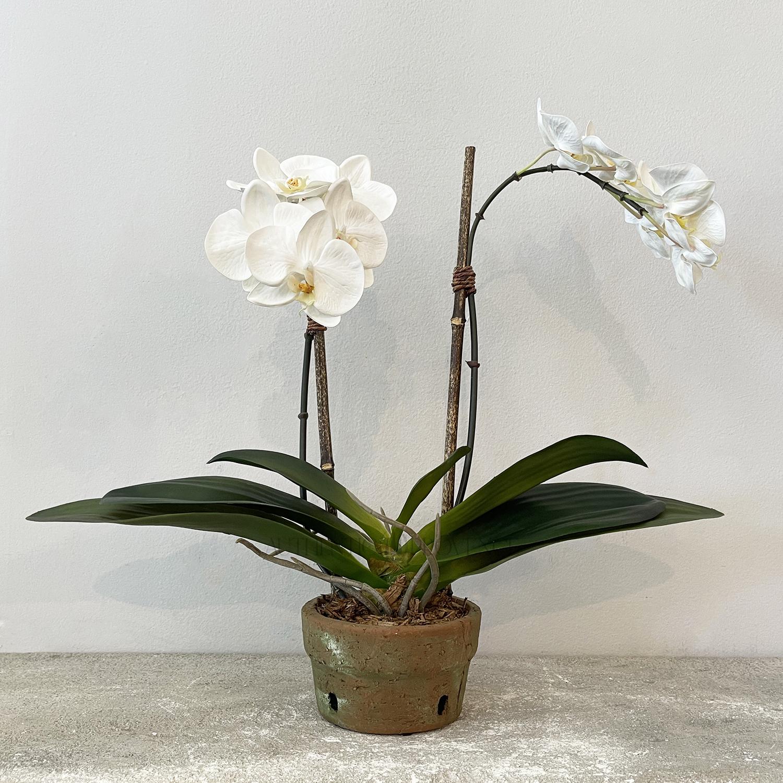 Orchid in Terra Cotta Pot